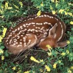 Sleeping-fawn-deer-10577069-1600-1200