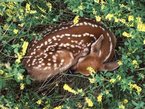 Sleeping-fawn-deer-10577069-1600-1200